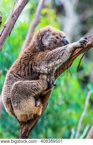 The brown koala or marsupial bear is a herbivorous mammal. Australia endemic. The only modern representative of the koal family. Ecotourism concept