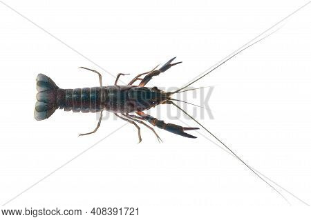 Blue Crayfish, Fresh Water Lobster. Red Claw Crayfish Alive Or Fash Water Lobster Alive Set On Isola