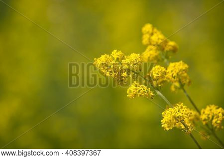 Goldenrod Flower Or Solidago Canadensis. Honey Plant, Sunset, Yellow Meadow Flower, Close-up. Select