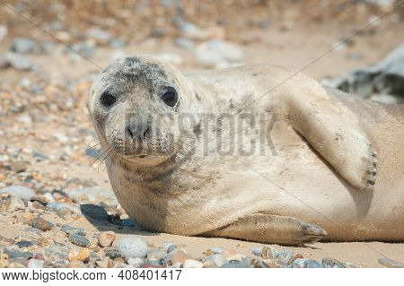 Close-up Of A Seal Pup With A Thoughtful Expression Basking On A Stony Beach