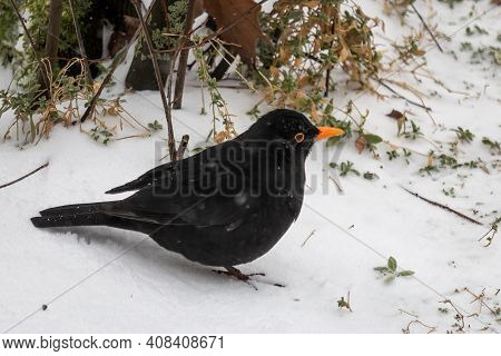 Blackbird In The Snow Looking For Food To Survive In Wintertime, The Netherlands