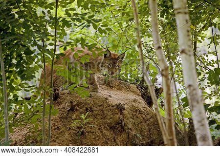 Siberian Lynx, Lynx Lynx Wrangeli, Adult Hidden In Forest