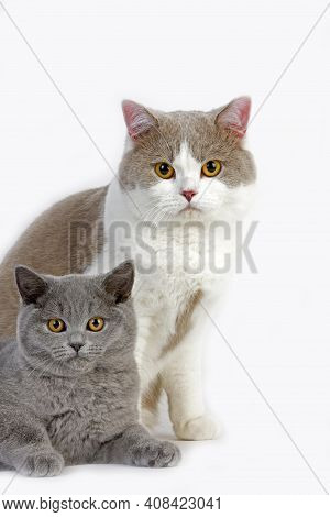 Male Lilac And White British Shorthair With Blue British Shorthair Kitten Domestic Cat, Standing Aga