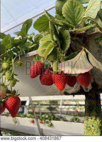 Fresh Organic Ripe Strawberries Growing On Strawberry Farm In Greenhouse. Modern Method Of Vertical