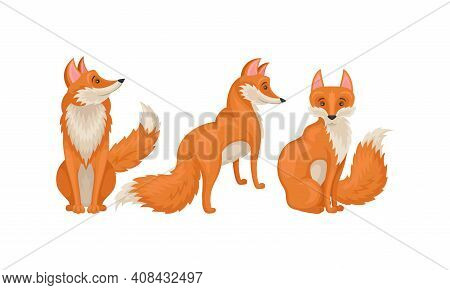 Red Fox As Omnivorous Mammal With Upright Triangular Ears And Pointed Snout Vector Set