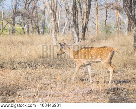 The Chital Or Axis Axis Also Known As Spotted Deer In Grass Land