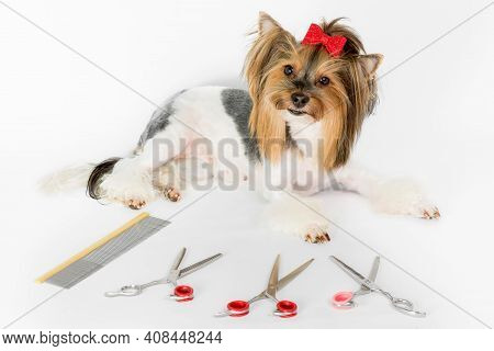 Yorkshire Terrier Dog With Glamorous Haircut And Grooming Scissors On White Background