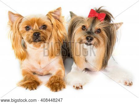 2 Yorkshire Terriers With Trendy Glamorous Haircuts On A White Background Close-up