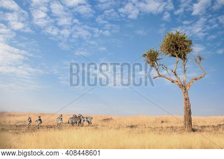 A small herd of zebra in the lush long grass of the Masai Mara, Kenya, with a large acacia tree and summer sky.