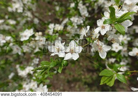 Leafage And Blossom Of Plum Tree In April