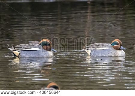 Beautiful Male Teal Duck Swimming In A Little Pond Called Jacobiweiher Not Far Away From Frankfurt,
