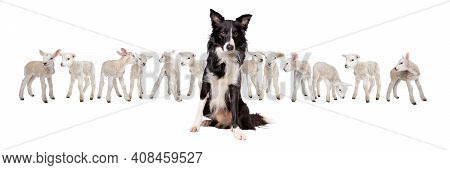 Border Collie Sheepdog Sitting In Front Of Twelve Little Lambs Isolated On A White Background