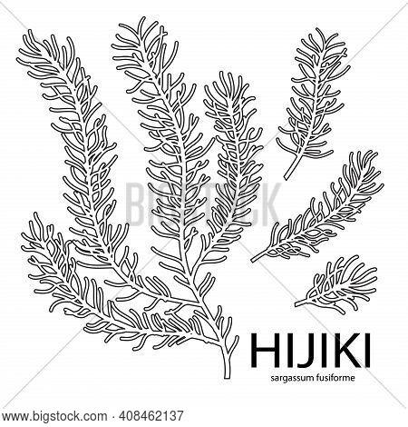 Vector Line Illustration Of Sargassum Fusiform Or Hijiki Seaweed, Sea Kale. Green Or Brown Algae. Ed