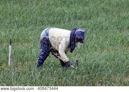 Boyaca, Colombia - February 2021. Peasants Working On A Green Onion Field At The Boyaca Department I
