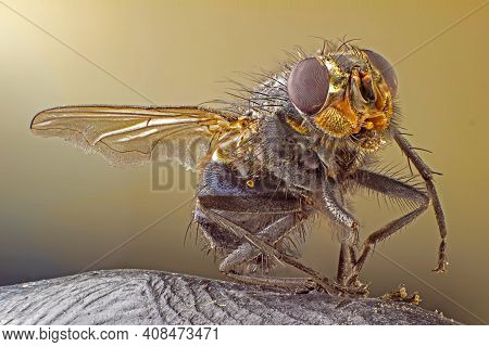 A Macro Shot Of Fly . Live Housefly .insect Close-up. Macro Sharp And Detailed Fly Compound Eye Surf
