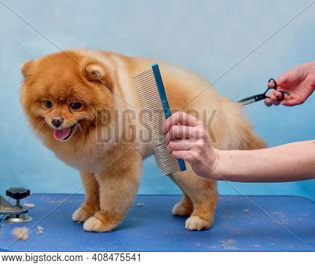 Takes Care Of The Pomeranian. Close-up Of A Professional Groomer Combing A Pomeranian