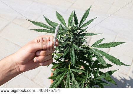 Marihuana Plant And A Marihuana Cigarette. Cbd Pot, Legal Alternative Health And Relaxation Method.