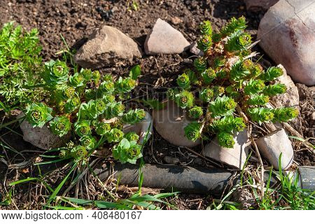 Young Shoots Of Rhodiola Rosea - Golden Root In Spring In The Garden.