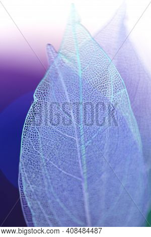 Skeleton Blue Leaves On Blurred Purple Background.macro Skeletonized Leaf.group Of Skeleton Leaves.m