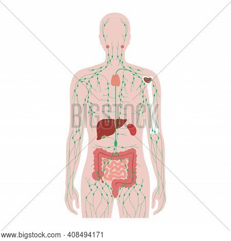 Lymphatic And Immune System Concept. Thymus, Liver, Appendix And Tonsil In Man Silhouette. Red Bone