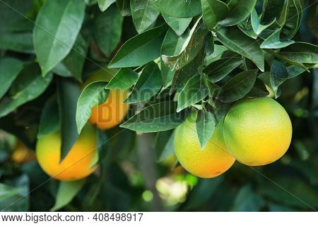Close Up Orange Fruits Ripening On Tree. Orange Tree Garden. Farming, Food Concept.