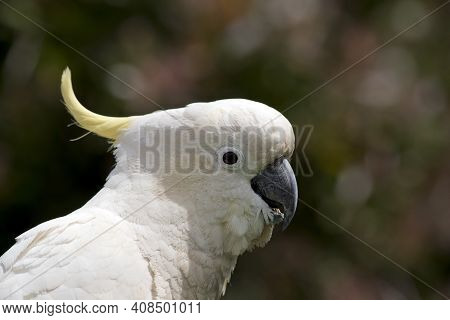 This Is A Side View Of A Sulphur Crested Cockatoo