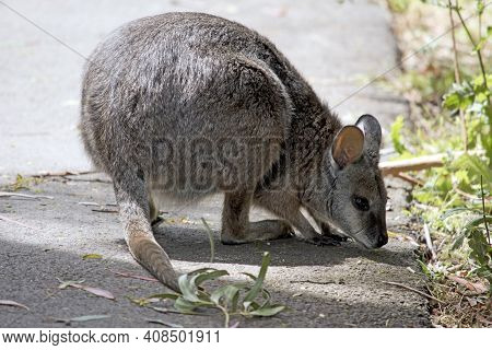 The Tammar Wallaby Is Grey, With A Little Brown And White Cheeks And A Long Tail.