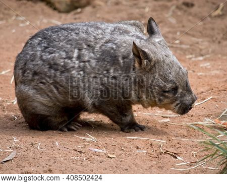The Hairy Nosed Wombat Is Scratching Himself