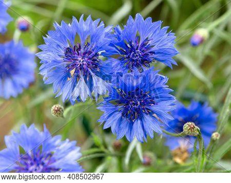 Blue Flowers Of Cornflowers In The Field. Blue Cornflowers On Green Background. Blurred Nature Backg