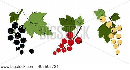 Blackcurrant, Red Currant, White Currant Berries. Bunches Of Ripe Juicy Blackcurrant, Redcurrant, Wh