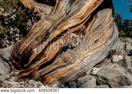 Twisting Base Of Bristle Cone Tree In Great Basin National Park