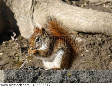 Small Red Squirrel Eating Seeds On Stone Fence