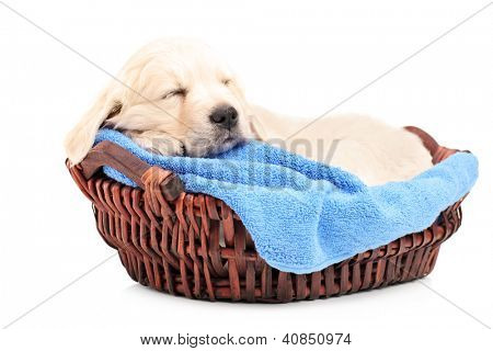 Retriver puppy dog sleeping in a basket isolated on white background