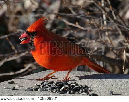 Red Male Cardinal Bird Sitting On Stone And Eating Seeds