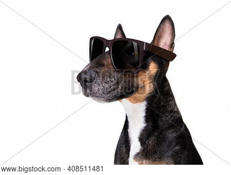 Bull Terrier   Dog With Cool Attitude Isolated On White Background Wearing Fancy Sunglasses