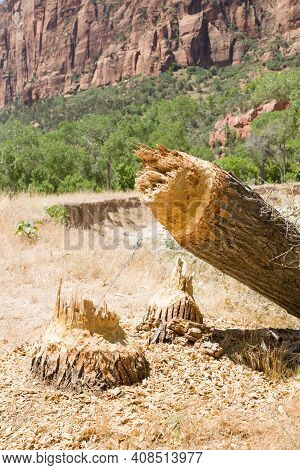 Tree Felled By A North American Beaver In Zion National Park, Utah, Usa
