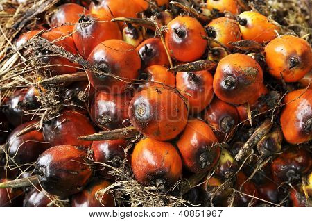 Palm Plat Seed Cluster Fruit