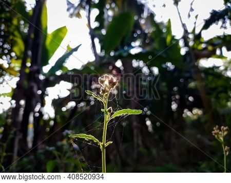 Leucas Is A Genus Of Plants In The Family Lamiaceae, First Described By Robert Brown In 1810. It Con