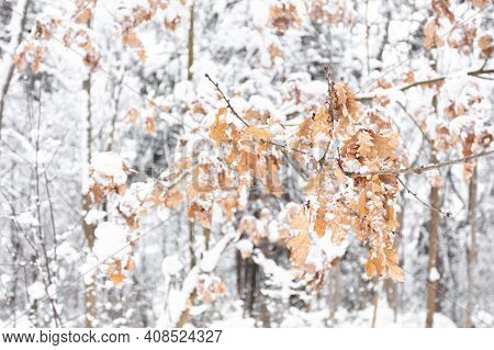 The Oak Tree In Winter Snowy Forest. White Crystals Of Hoar Frost On A Branches And Leaves. High Qua