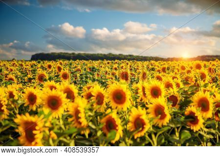 Attractive field with bright yellow sunflowers close up. Location place of Ukraine agricultural region, Europe. Image of ecology concept. Agrarian industry. Photo of cultivation land. Beauty of earth.
