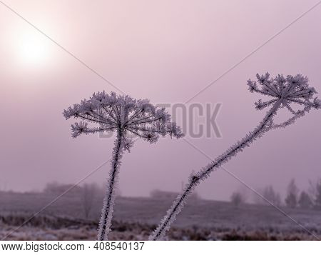The Field Plant Heracleum Is Covered With White Frost In Winter In The Fog. Meadow Plant Heracleum.