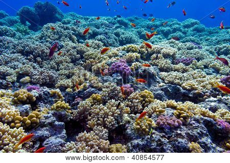 colorful coral reef with hard corals on the bottom of red sea