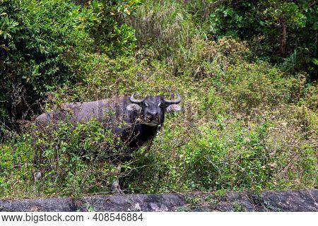 Black Carabao Bull In Tropical Bush, Asian Farm Animal Photo. Free Range Pasture For Farm Animal. Ca