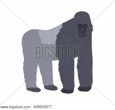 Stocky Ape Or Gorilla Standing On Four Legs And Leaning On Forelimbs. African Black And Gray Animal