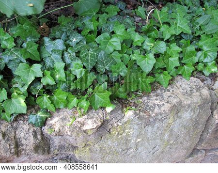 European Ivy Tendrils On A Shady Stone Wall