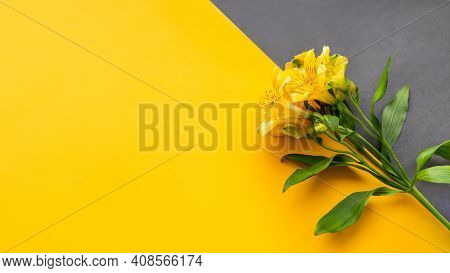 Yellow Alstroemeria Flower On Yellow And Grey Diagonal Background. Top View On Blossoming Plant On C
