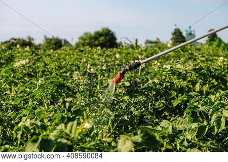 Spraying Potatoes With Poison Against Colorado Potato Beetle. Poisons Pest Insect In The Garden. Spr