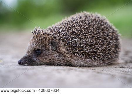 Hedgehog, Wild, Native, European Hedgehog On Road Or Highway With Autumn Leaves