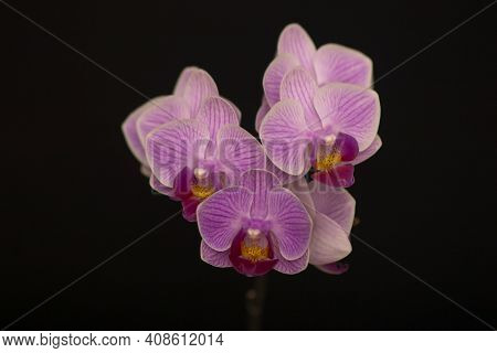 Orchid Flowers Phalaenopsis Perceval Mini. Branch Of Flowering Orchid Phalaenopsis Perceval Mini (kn