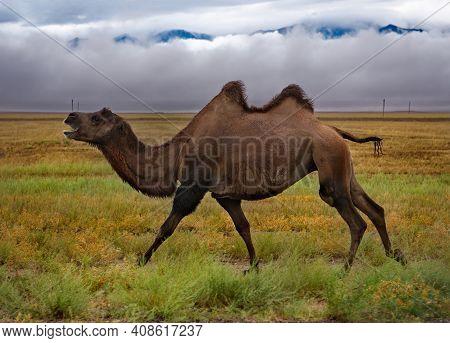 Kazakhstan. A Two-humped Camel Running Along An Asphalt Road Near The Town Of Zharkent.